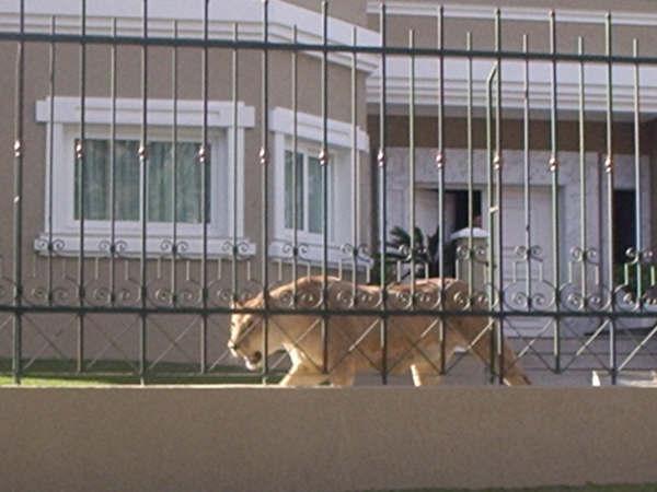 Lembra da casa no Água Verde que tinha uma leoa como cão de guarda?